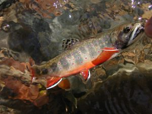 Brook Trout on the Greenbrier River. Photo cred: Barry Rich
